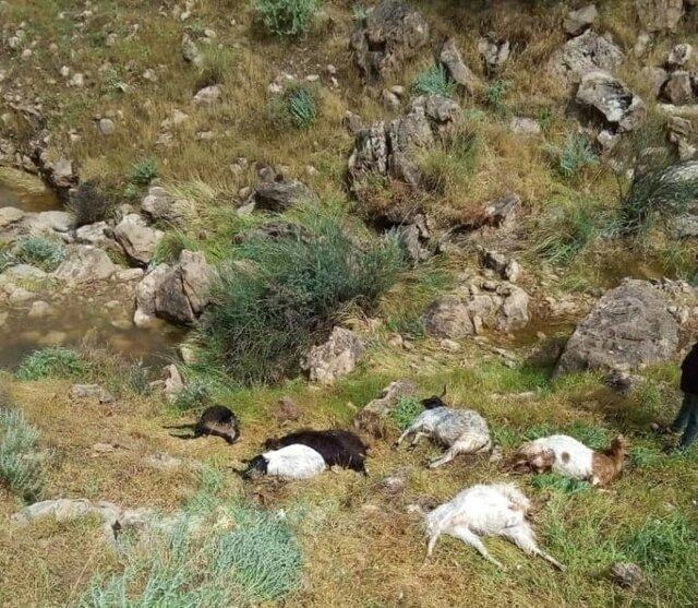 شرح پلیس در مورد توزیع لاشه گوسفندان بین مردم